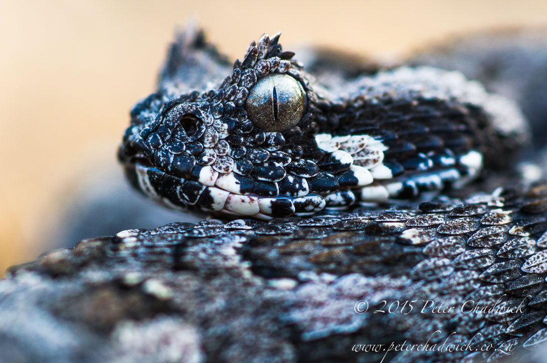 Southern Adder_©PeterChadwick_AfricanConservationPhotographer