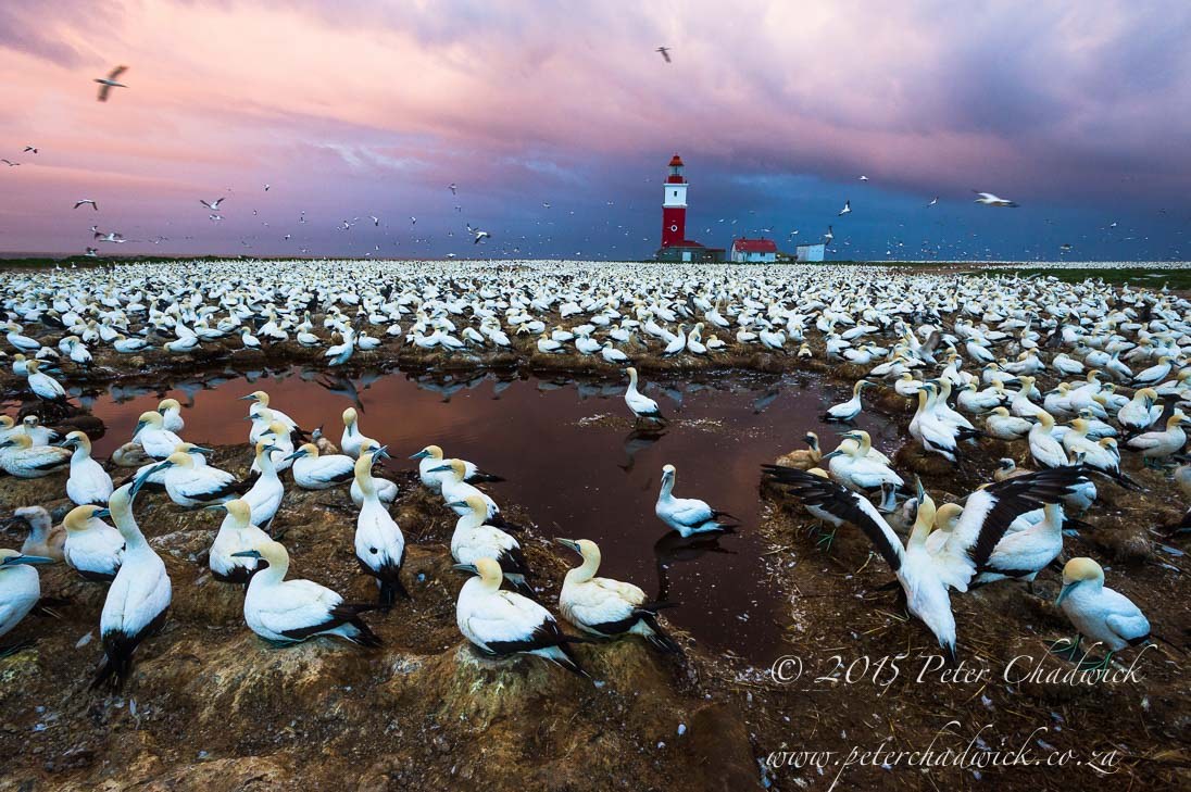 South African Seabirds_©PeterChadwick_AfricanConservationPhotographer