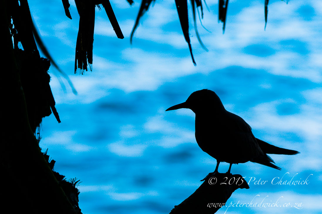 Noddy Tern Silhouette_©PeterChadwick_AfricanConservationPhotographer