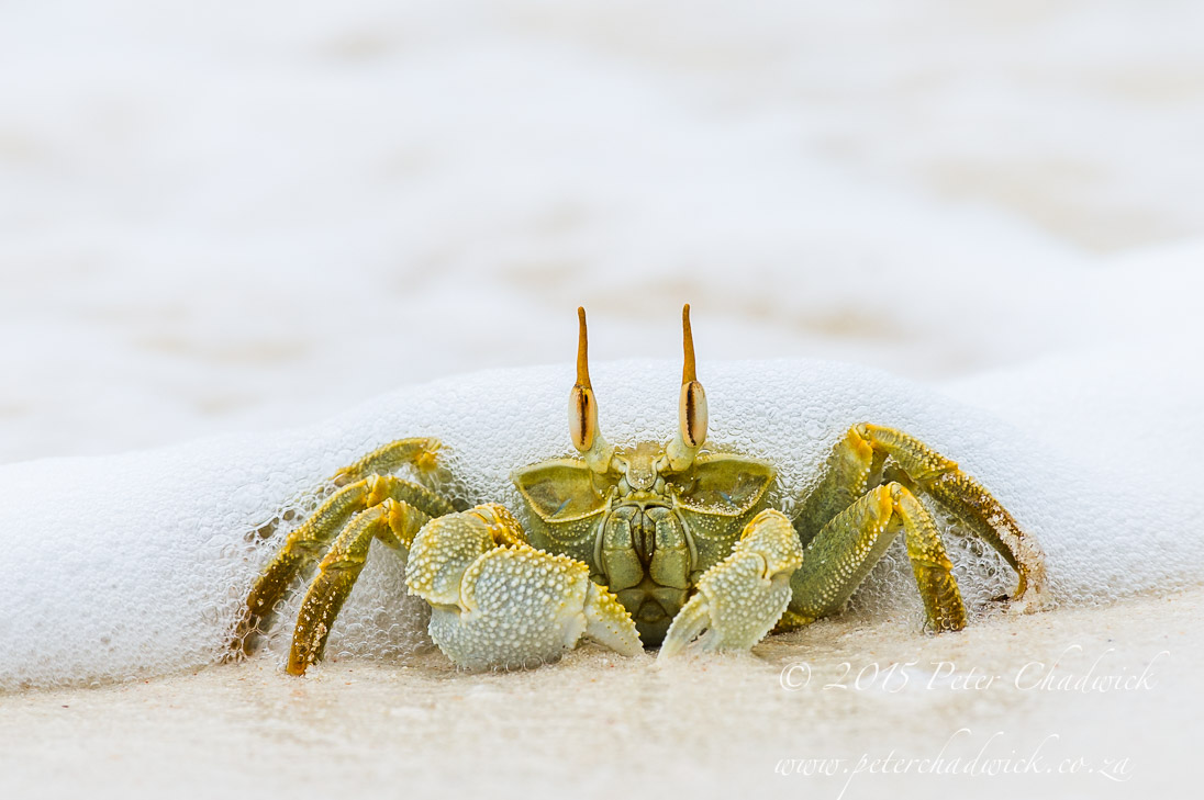 Ghost Crab_©PeterChadwick_AfricanConservationPhotographer