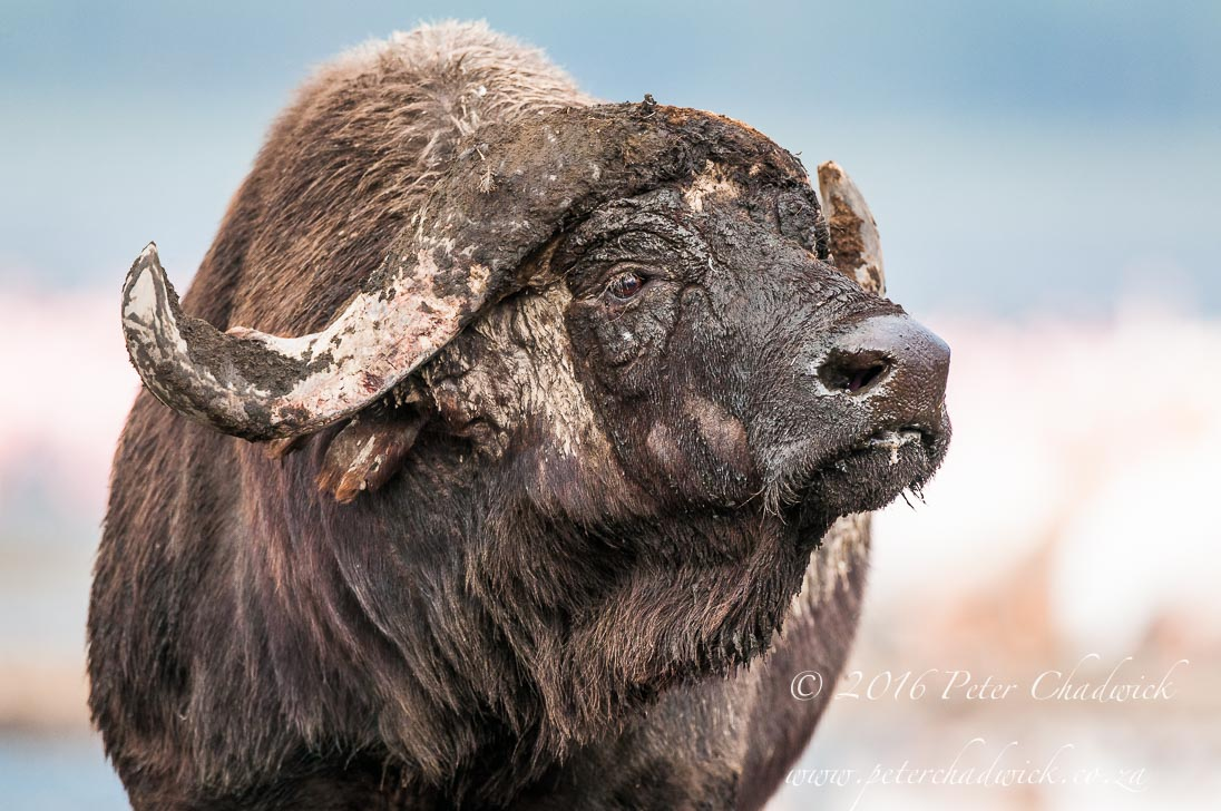Cape Buffalo bull_©PeterChadwick_AfricanConservationPhotographer