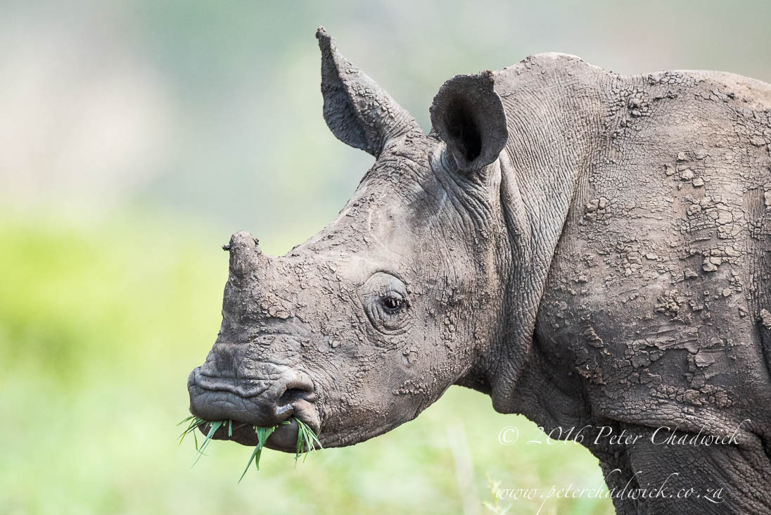 White Rhino Calf_©PeterChadwick_AfricanConservationPhotographer