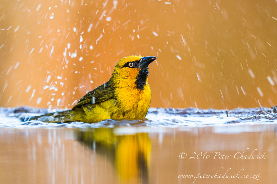 Spectacled Weaver bathing_©PeterChadwick_AfricanConservationPhotographer