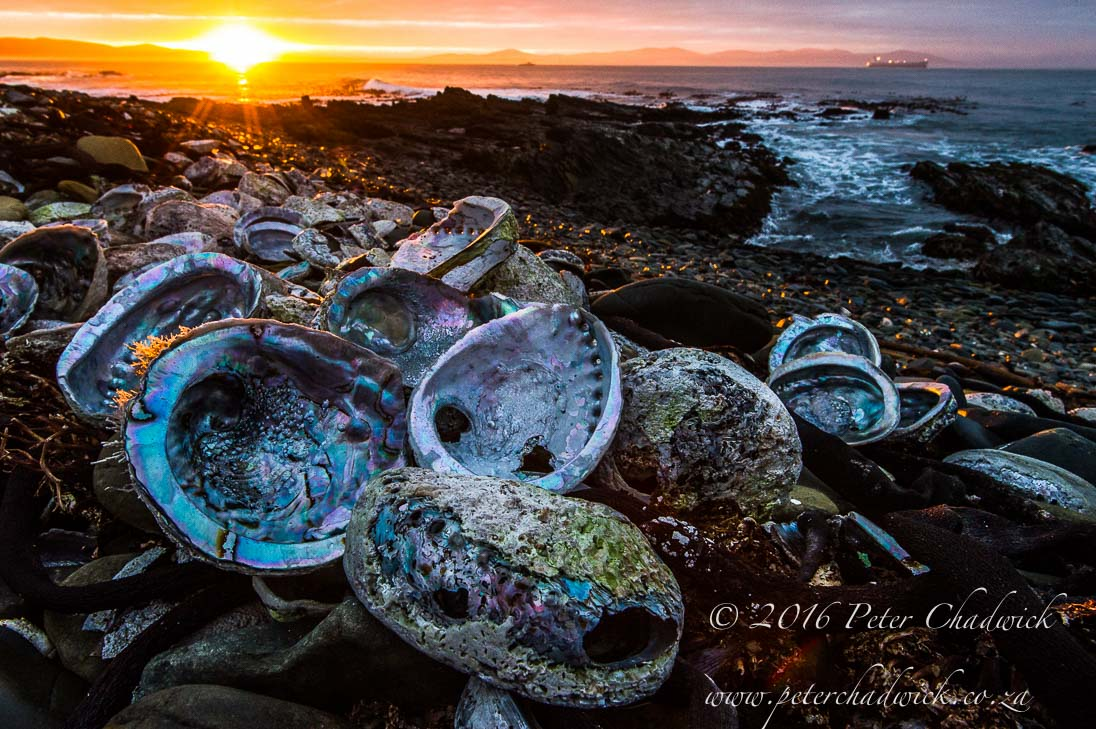 Poached Abalone shells_©PeterChadwick_AfricanConservationPhotographer