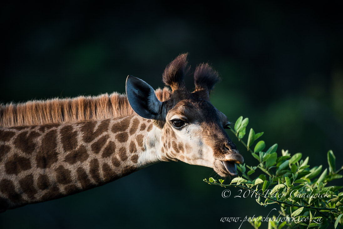 Feeding Giraffe_©PeterChadwick_AfricanConservationPhotographer