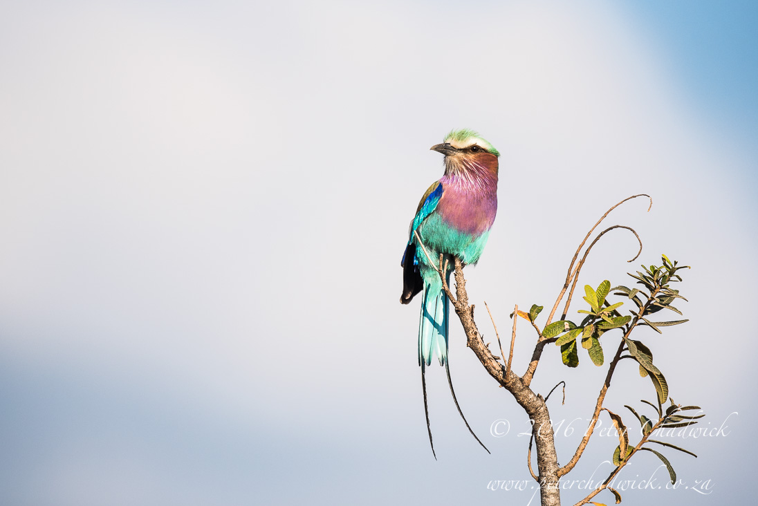Lilac Breasted Roller_©PeterChadwick_AfricanConservationPhotographer