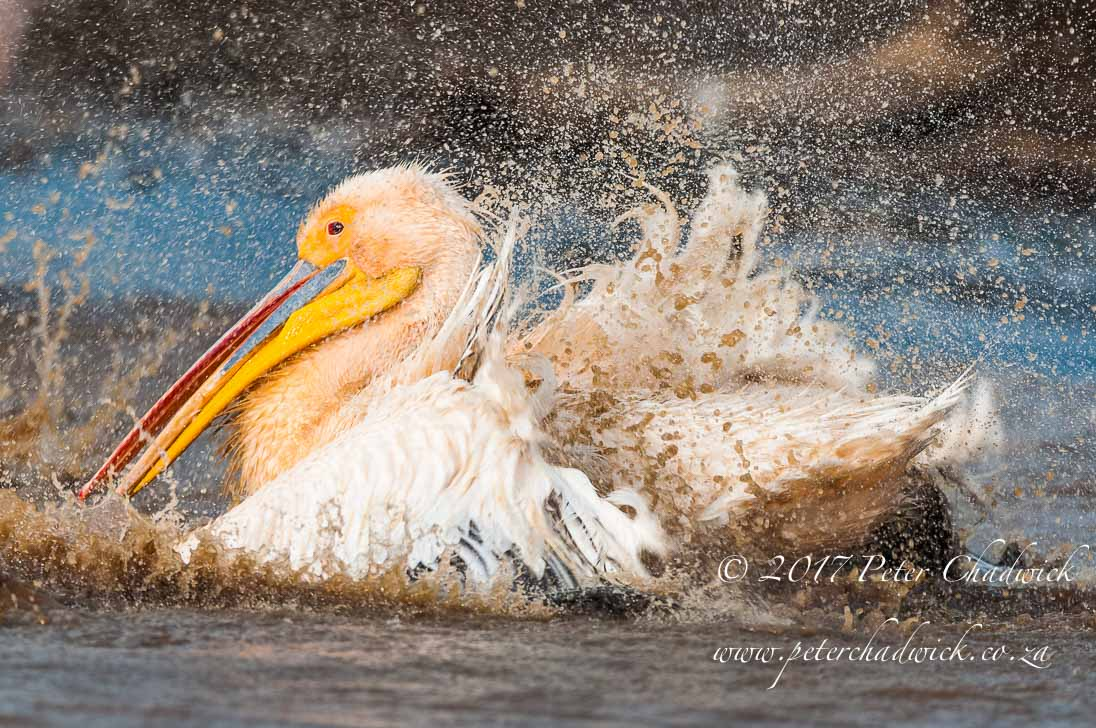 Bathing Great White Pelican_©PeterChadwick_AfricanConservationPhotographer