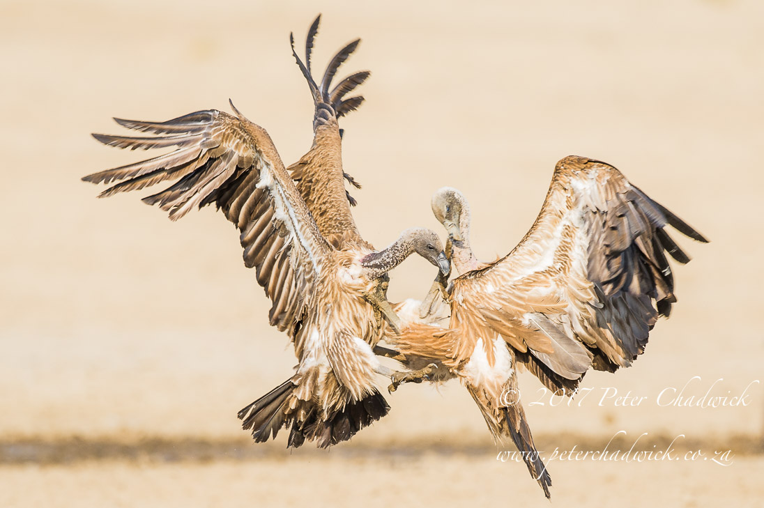 Fighting Cape Vultures_©PeterChadwick_AfricanConservationPhotographer