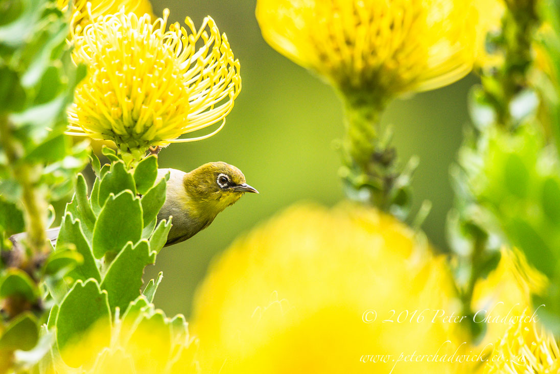 Cape White Eye And Pincushion Flowers Peter Chadwick African